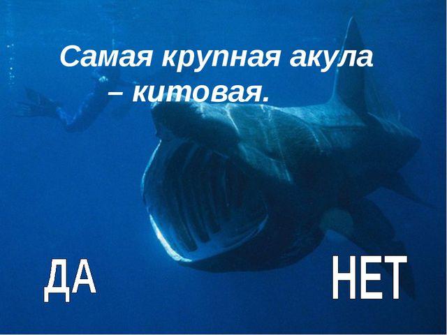 Самая крупная акула – китовая.
