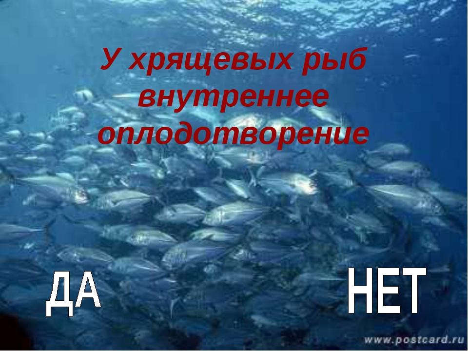У хрящевых рыб внутреннее оплодотворение
