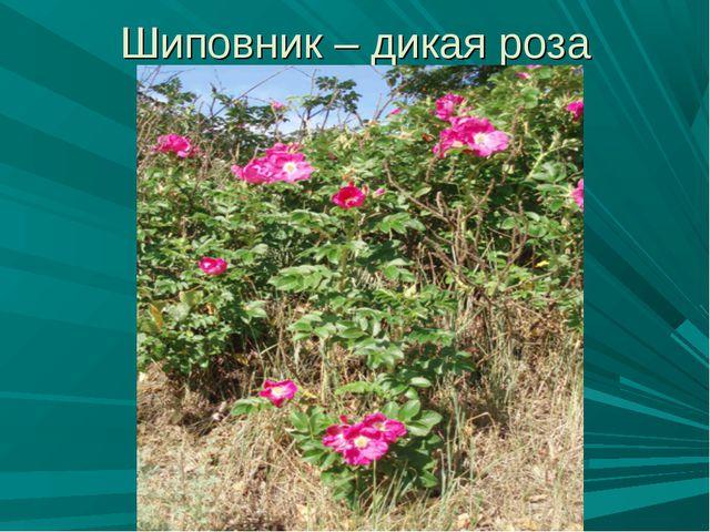Шиповник – дикая роза