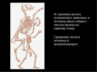 В строении скелета позвоночных животных и человека много общего - они постро