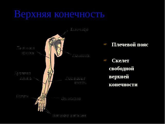 Верхняя конечность Плечевой пояс Скелет свободной верхней конечности