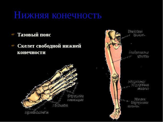 Нижняя конечность Тазовый пояс Скелет свободной нижней конечности