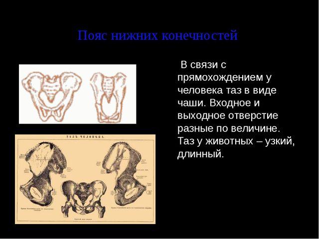 Пояс нижних конечностей  В связи с прямохождением у человека таз в виде чаши...