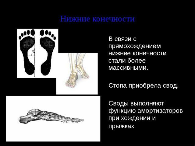Нижние конечности В связи с прямохождением нижние конечности стали более мас...