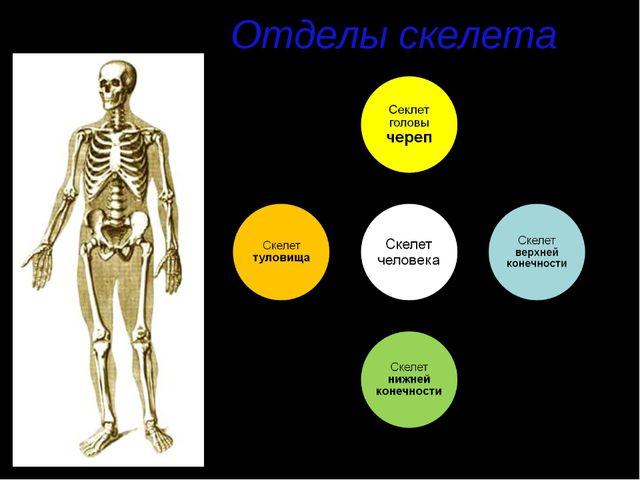 Отделы скелета
