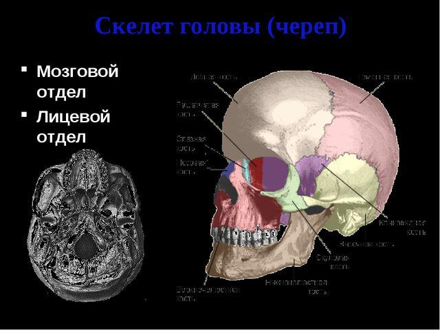 Скелет головы (череп) Мозговой отдел Лицевой отдел