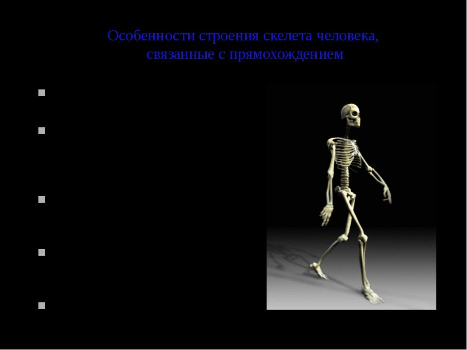 Особенности строения скелета человека, связанные с прямохождением Позвоночник...