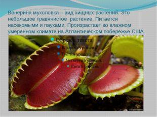 Венерина мухоловка – вид хищных растений. Это небольшое травянистое растение.