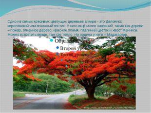 Одно из самых красивых цветущих деревьев в мире - это Делоникс королевский ил