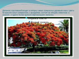Делоникс королевский входит в пятёрку самых прекрасных деревьев мира. Цветы п