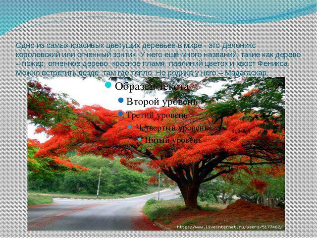 Одно из самых красивых цветущих деревьев в мире - это Делоникс королевский ил...