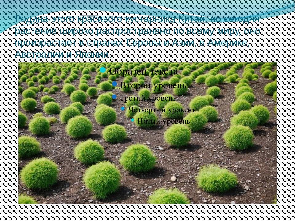 Родина этого красивого кустарника Китай, но сегодня растение широко распростр...