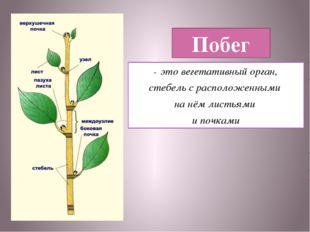 Побег - это вегетативный орган, стебель с расположенными на нём листьями и по