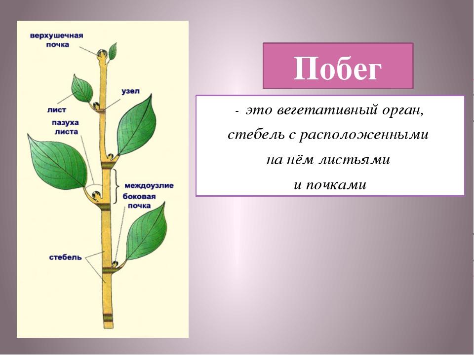 Побег - это вегетативный орган, стебель с расположенными на нём листьями и по...
