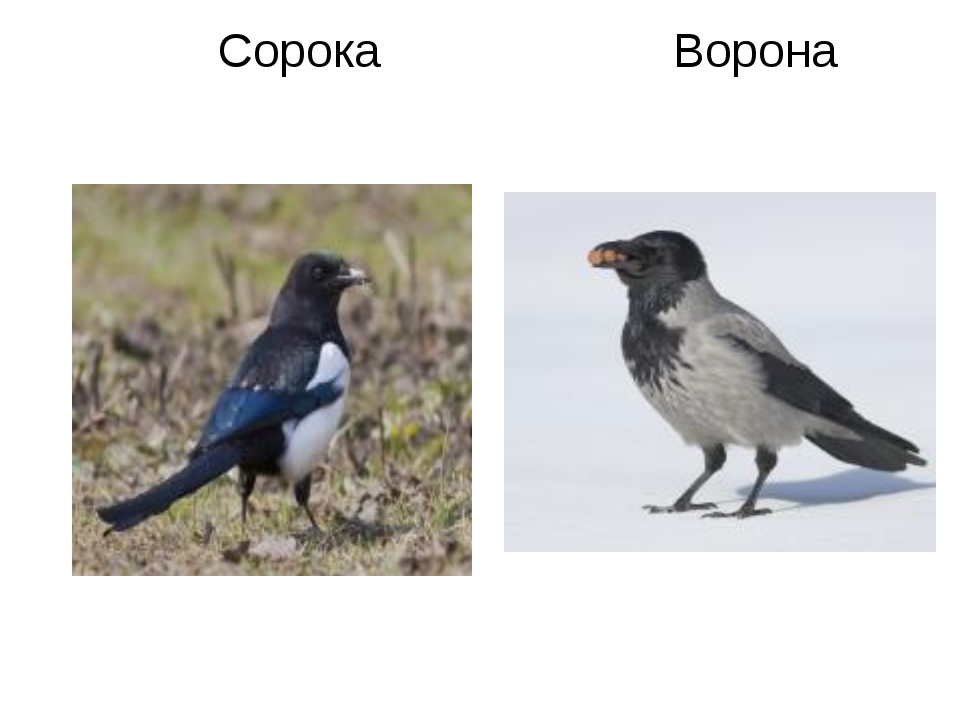 Сорока Ворона