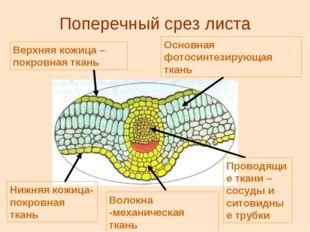 Поперечный срез листа Верхняя кожица – покровная ткань Основная фотосинтезиру