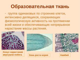 Образовательная ткань группа одинаковых по строению клеток, интенсивно делящи