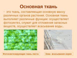 Основная ткань это ткань, составляющая основную массу различных органов расте