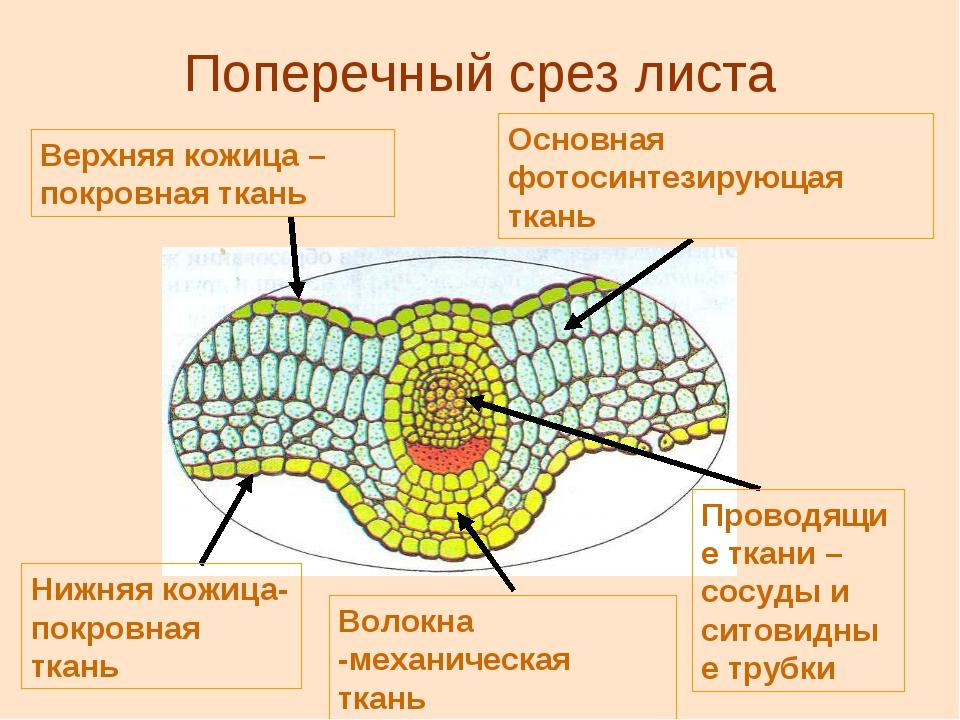 Поперечный срез листа Верхняя кожица – покровная ткань Основная фотосинтезиру...