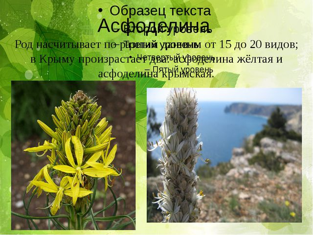 Асфоделина Род насчитывает по разным данным от 15 до 20 видов; в Крыму произр...
