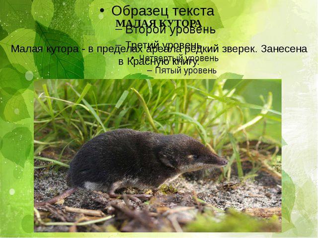 МАЛАЯ КУТОРА Малая кутора - в пределах ареала редкий зверек. Занесена в Красн...