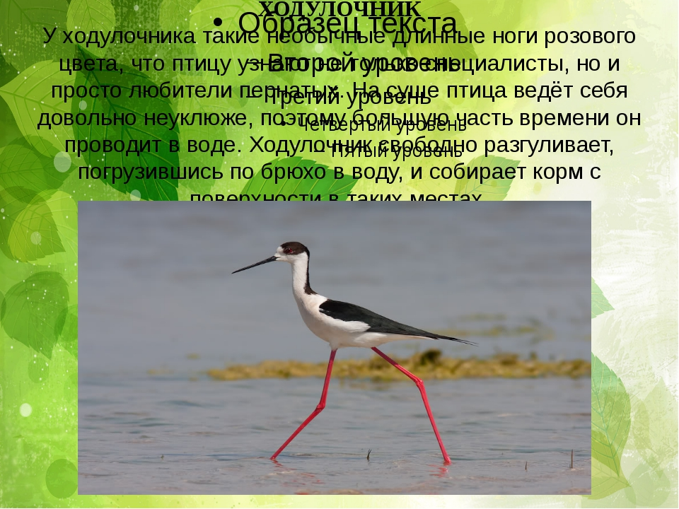 ХОДУЛОЧНИК У ходулочника такие необычные длинные ноги розового цвета, что пти...