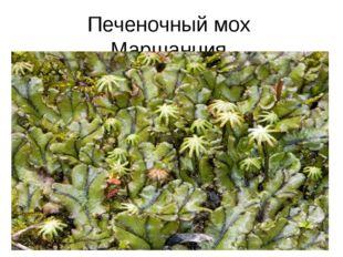 Печеночный мох Маршанция