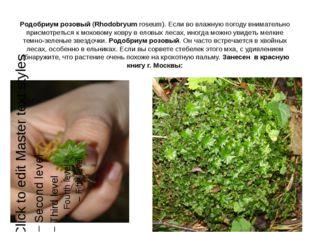 Родобриум розовый (Rhodobryum roseum). Если во влажную погоду внимательно при