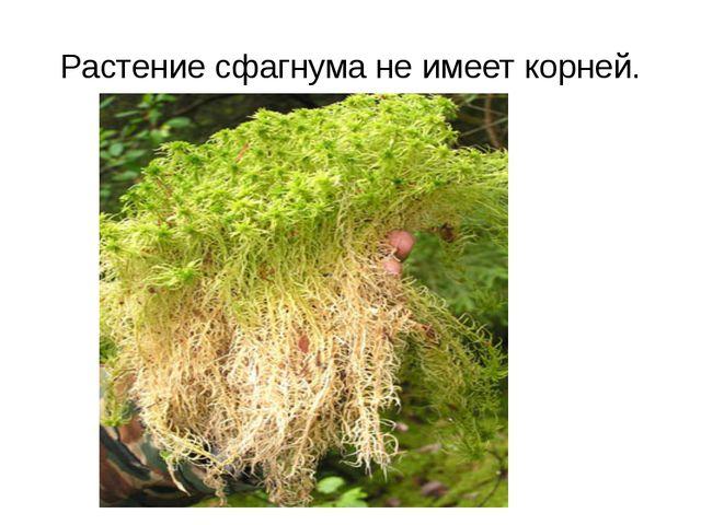 Растение сфагнума не имеет корней.