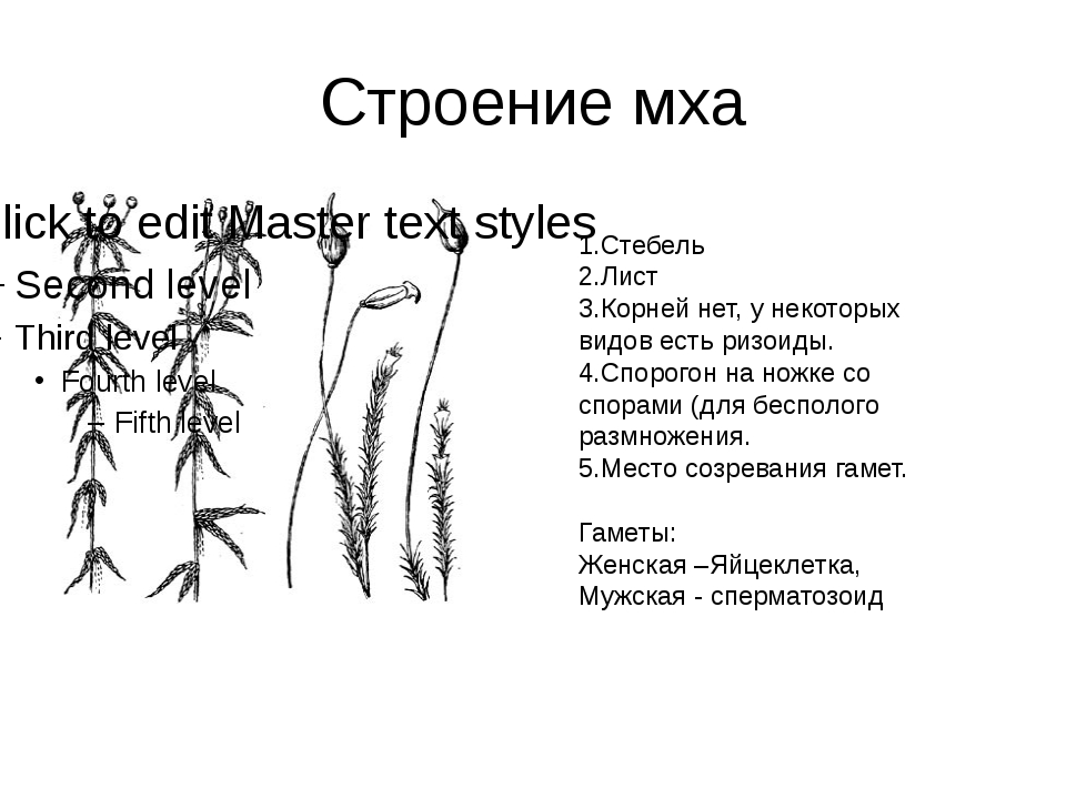 Строение мха 1.Стебель 2.Лист 3.Корней нет, у некоторых видов есть ризоиды. 4...