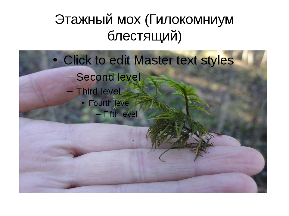 Этажный мох (Гилокомниум блестящий)