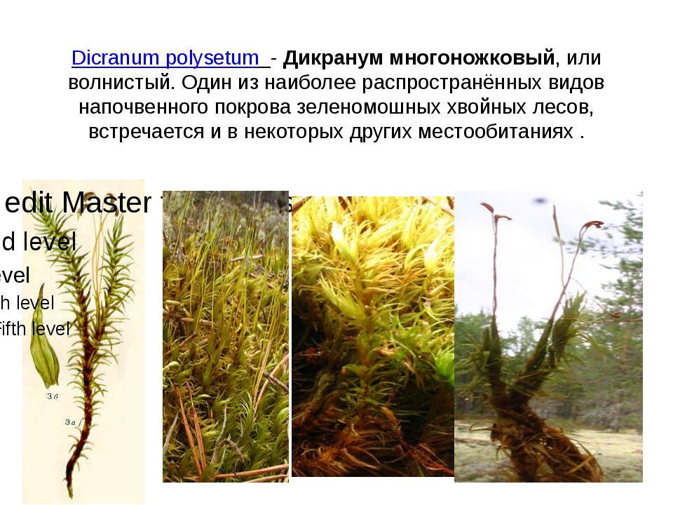 Dicranum polysetum - Дикранум многоножковый, или волнистый. Один из наиболее...