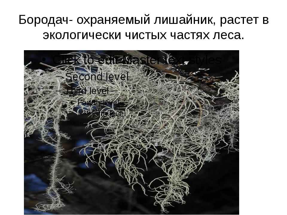 Бородач- охраняемый лишайник, растет в экологически чистых частях леса.