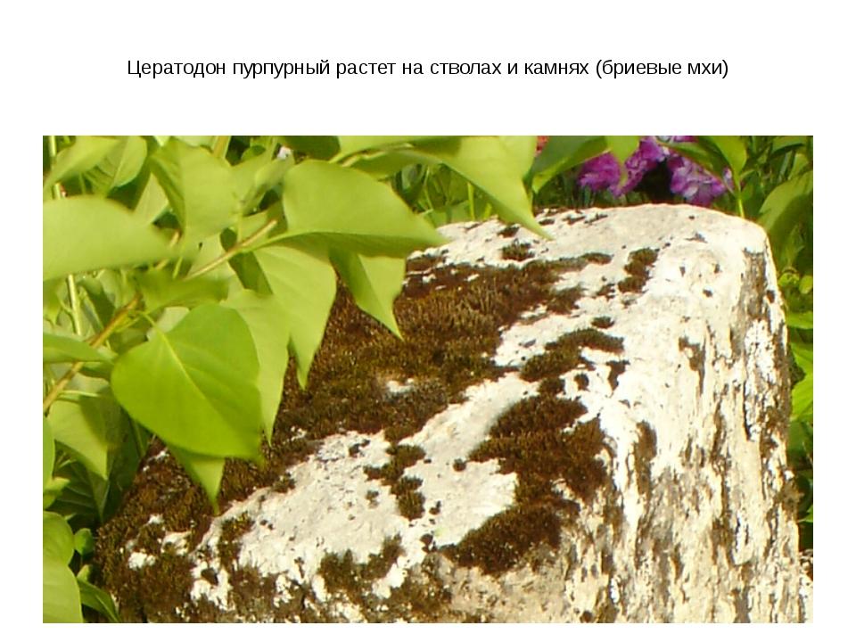 Цератодон пурпурный растет на стволах и камнях (бриевые мхи)