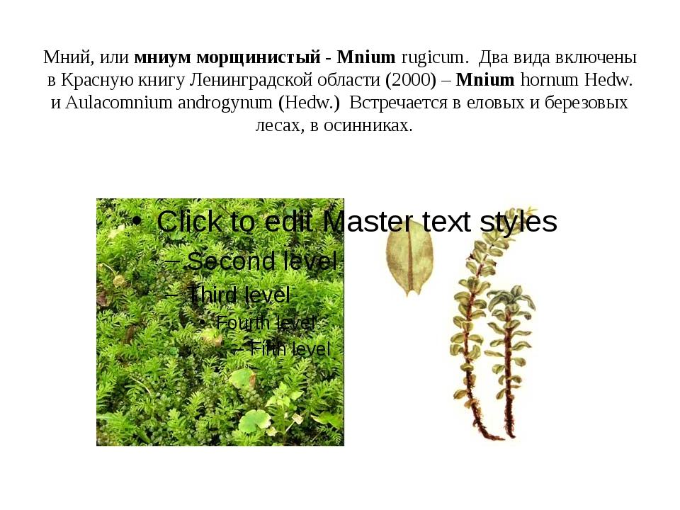 Мний, или мниум морщинистый - Mnium rugicum. Два вида включены в Красную книг...