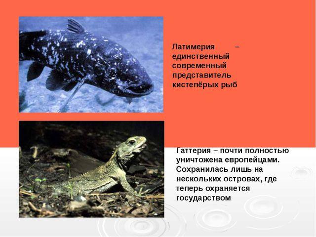 Латимерия – единственный современный представитель кистепёрых рыб Гаттерия –...