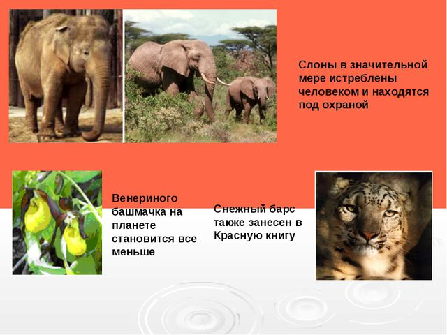 Снежный барс также занесен в Красную книгу Слоны в значительной мере истребле...