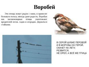 Воробей Эти птицы живут рядом с нами, и приносят большую пользу, иногда даже