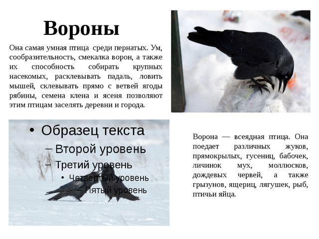 Вороны Она самая умная птица среди пернатых. Ум, сообразительность, смекалка...