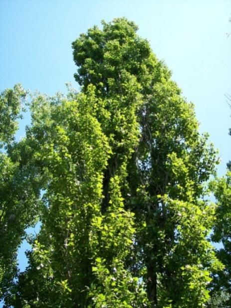 http://www.botanichka.ru/wp-content/uploads/2010/10/Black-poplar1-520x693.jpg