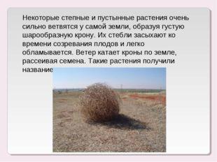 Некоторые степные и пустынные растения очень сильно ветвятся у самой земли, о