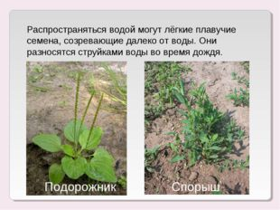 Распространяться водой могут лёгкие плавучие семена, созревающие далеко от во