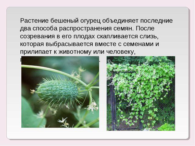 Растение бешеный огурец объединяет последние два способа распространения семя...