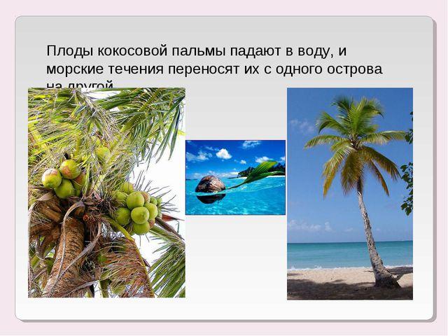 Плоды кокосовой пальмы падают в воду, и морские течения переносят их с одного...