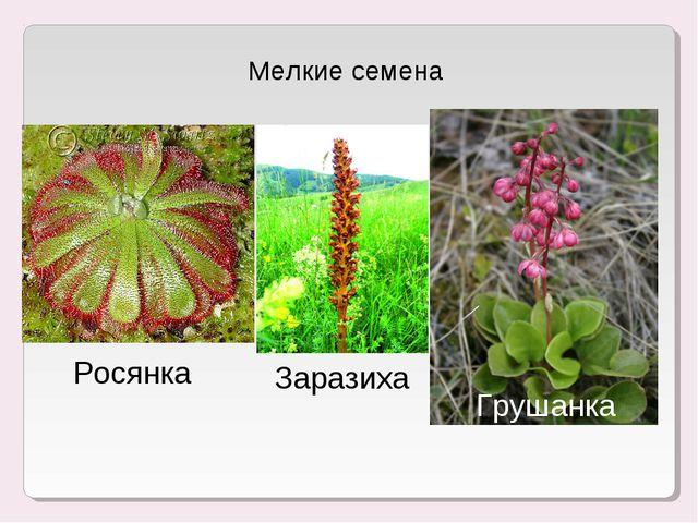 Мелкие семена Росянка Заразиха Грушанка