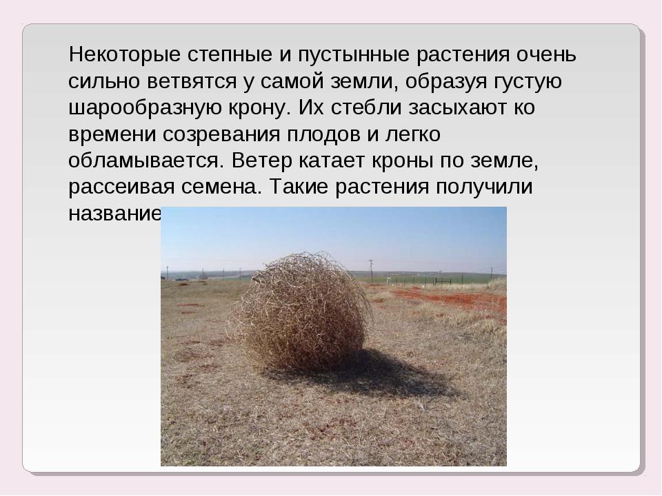 Некоторые степные и пустынные растения очень сильно ветвятся у самой земли, о...