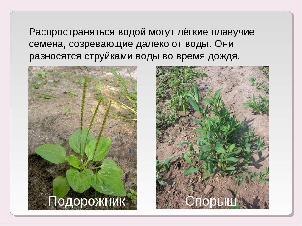Распространяться водой могут лёгкие плавучие семена, созревающие далеко от во...
