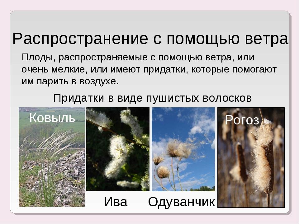 Распространение с помощью ветра Ковыль Ива Одуванчик Рогоз Плоды, распростран...