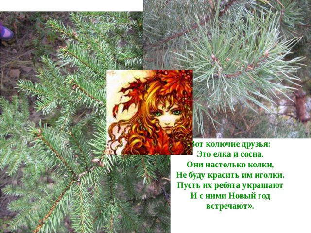 Вот колючие друзья: Это елка и сосна. Они настолько колки, Не буду красить им...