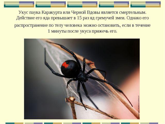 Укус паука Каракурта или Черной Вдовы является смертельным. Действие его яда...